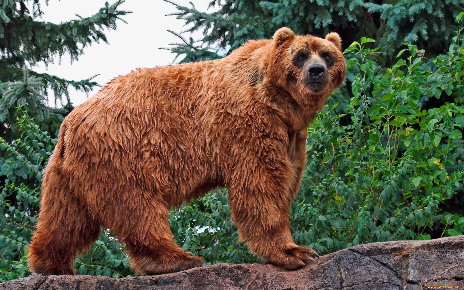 этом, картинки разных медведей рейтинге разведанным запасам